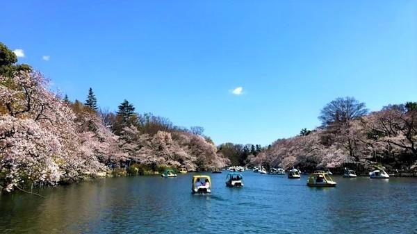 【吉祥寺】駅から歩いて行ける「井の頭恩賜公園」で桜を見よう!