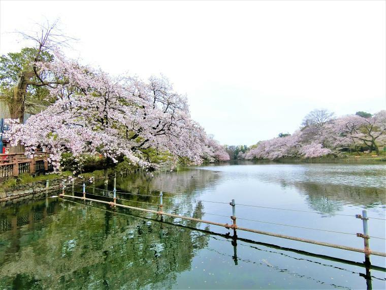 公園 井の頭池に咲く桜の花が池の表面に反射して大変綺麗です。