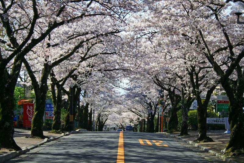 伊豆高原の桜並木通り