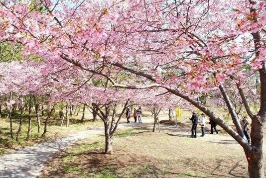 カワヅサクラが有名です。中里海岸通りや古所地区自然公園内が綺麗です