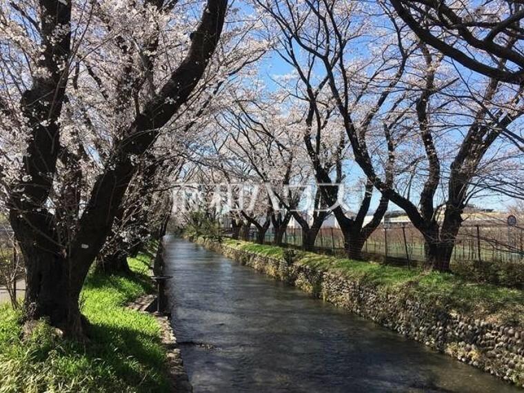 玉川上水の桜並木 見影橋から
