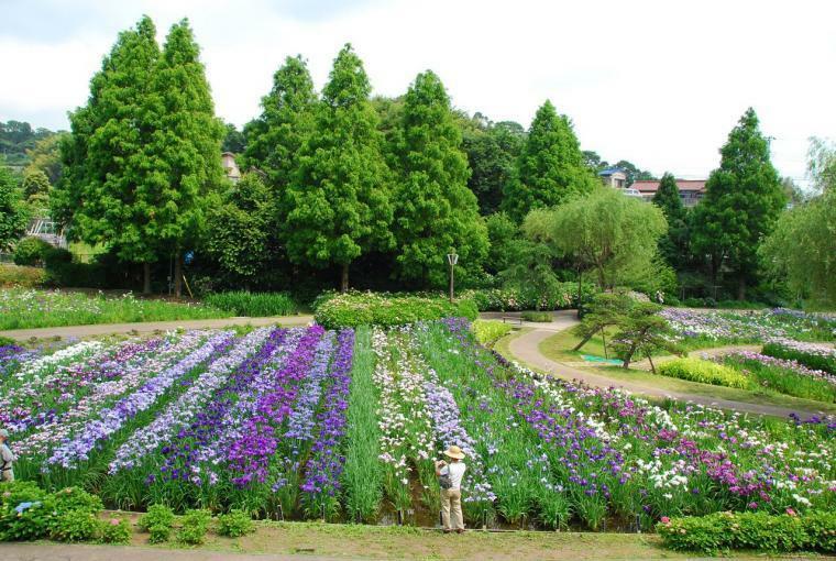 公園 【横須賀しょうぶ園】たくさんの種類のお花が間近で拝見できます。園内の規模は広く、ぐるりと一周回れる様になっており、散歩にも快適な観光地です。